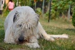 Den liggande hunden för den irländska varghunden äter benet på gräset Hunden gnag ett ben i trädgården på gräsmattan Arkivbilder