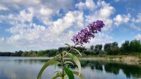 Den lila blomman vibrerar i luften mot den blåa himlen vita härliga oklarheter arkivfilmer