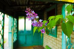 Den lila Bush Royaltyfria Bilder