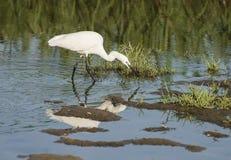 Den lilla ägretthägret stod jakt i vatten av flodmarsklan Royaltyfri Fotografi