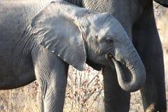 Den lilla afrikanen behandla som ett barn elefanten som promenerar savannahen Arkivbild
