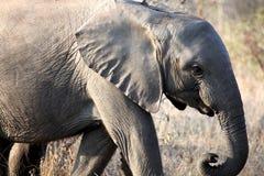 Den lilla afrikanen behandla som ett barn elefanten som promenerar savannahen Royaltyfri Fotografi