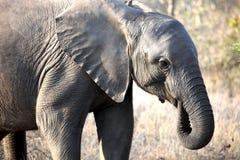Den lilla afrikanen behandla som ett barn elefanten som promenerar savannahen Royaltyfria Foton