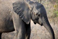 Den lilla afrikanen behandla som ett barn elefanten som promenerar savannahen Royaltyfri Foto