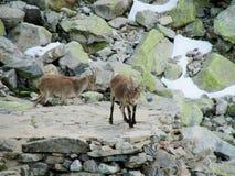 Den lilla alpina stenbocken behandla som ett barn i den lösa naturen vaggar på Arkivfoton
