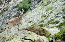 Den lilla alpina stenbocken behandla som ett barn i den lösa naturen vaggar på Fotografering för Bildbyråer