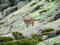 Den lilla alpina stenbocken behandla som ett barn i den lösa naturen vaggar på Royaltyfria Foton