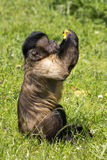Den lilla apan äter ett stycke av apelsinen Arkivfoto