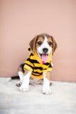 Den lilla beaglet är sitta och le på det konkreta golvet Royaltyfri Bild
