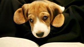 Den lilla beaglevalpen läser boken, innan den går sovande stock video