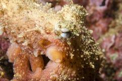 Den lilla bläckfisken Royaltyfri Fotografi