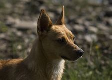 Den lilla bruna hunden, blöter från simning i sjön Arkivfoto