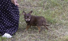 Den lilla Chihuahuahunden som går i, parkerar på gräset arkivfoton
