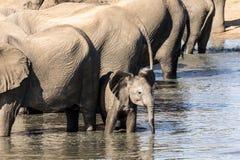 Den lilla elefanten önskar att gå hans egen väg arkivbild