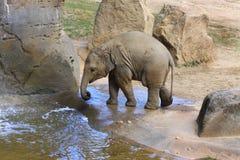 Den lilla elefanten behandla som ett barn, djurliv, däggdjur Royaltyfri Bild