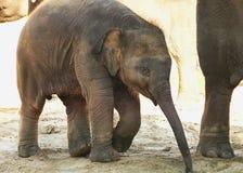 Den lilla elefanten går för en gå Royaltyfri Fotografi