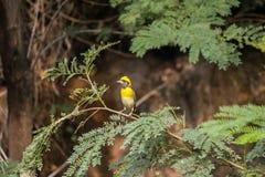 Den lilla fågeln med den gula färgkronan som sätta sig på ett träd, fattar royaltyfri foto