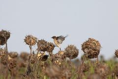Den lilla fågeln sitter på en solros Fotografering för Bildbyråer