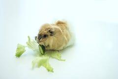 Den lilla försökskaninen äter den nya gurkan Arkivfoto