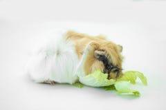 Den lilla försökskaninen äter grönsaker Royaltyfri Bild
