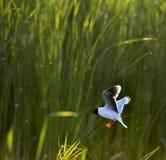 Den lilla fiskmåsen (Larusminutus) i flykten på bakgrunden för grönt gräs Arkivfoton