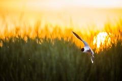 Den lilla fiskmåsen (Larusminutus) i flykten på solnedgångbakgrunden för grönt gräs Royaltyfri Bild