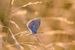 Den lilla fjärilsduvan sitter på en torr spikelet av gräs arkivbild