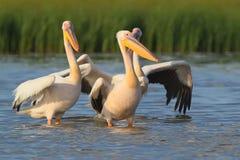 Den lilla flocken av vita pelikan står i vattnet Royaltyfri Bild