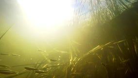 Den lilla floden fiskar simning mellan ogräset i nytt rent vatten under sommarsolen arkivfilmer