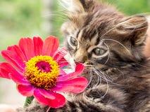 Den lilla fluffiga kattungen sniffar blomman av zinniaen och tycker om arkivfoton