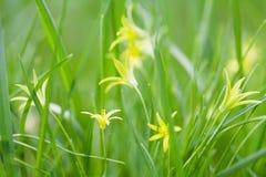 Den lilla Gagea luteaen blommar, ny gräsbakgrund Gul familj för Betlehems stjärnavårlilja Perenn ört, först Royaltyfria Foton