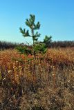 Den lilla gräsplanen sörjer trädet i en äng av gult gräs på en kulle Arkivbild