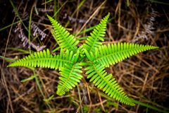 Den lilla gröna ormbunken Royaltyfria Foton