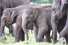Den lilla gruppen av elefanter inklusive två behandla som ett barn Arkivfoto