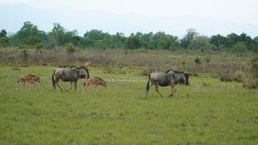 Den lilla gruppen av gnu och gröngölingar flyttar sig till och med savannah i molnig dag lager videofilmer