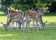 Den lilla gruppen av unga hjortar som betar på gräs parkerar offentligt royaltyfri bild