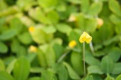 Den lilla gula blommamakroen på gräsplan lämnar bakgrund Royaltyfri Foto