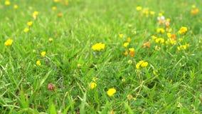 Den lilla gula blomman svänger i vinden i ett fält mot ett grönt gräs lager videofilmer
