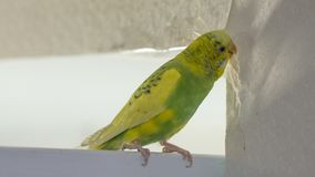 Den lilla gula gröna krabba papegojan som sitter på en filial, gnag revor skrapar väggen och att orsaka skada för att skyla över  royaltyfria bilder