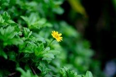 Den lilla gula stjärnan följer på grön tjänstledighetbakgrund, selektivt f Arkivfoto