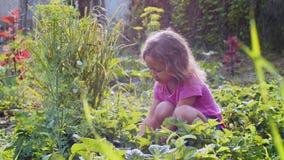 Den lilla gulliga flickan äter jordgubben som sitter nära växtsängen i trädgården arkivfilmer