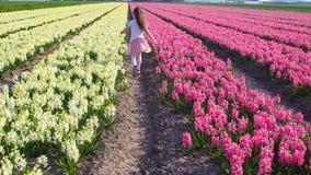 Den lilla gulliga flickan går mellan viter och pinkshyacinthusen i härligt färgrikt hyacinthusfält i Nederländerna arkivfilmer