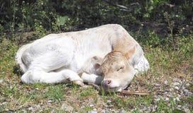 Den lilla gulliga kalven som sover på det gröna gräset, behandla som ett barn djur Arkivfoton