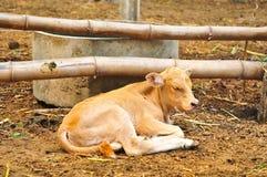 Den lilla gulliga kalven sover i lantgården Royaltyfri Bild