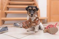 Den lilla gulliga lydiga hunden rymmer en sko vid clickerutbildning royaltyfri fotografi