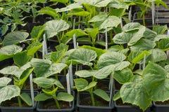 Den lilla gurkan planterar fullvuxet i krukor Arkivbilder