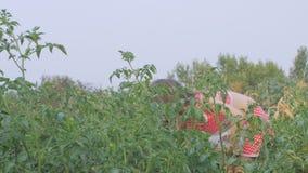 Den lilla härliga flickan samlar tomater i trädgården lager videofilmer