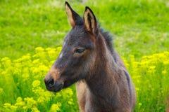 Den lilla hästhingstfölet med de ledsna ögonen strosar i ett grönt fält Arkivbild