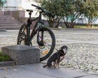 Den lilla hunden på en koppel bevakar cykeln Arkivfoto