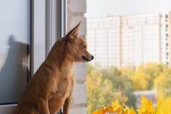 Den lilla hunden ser ut fönstret som väntar på ägaren royaltyfria bilder
